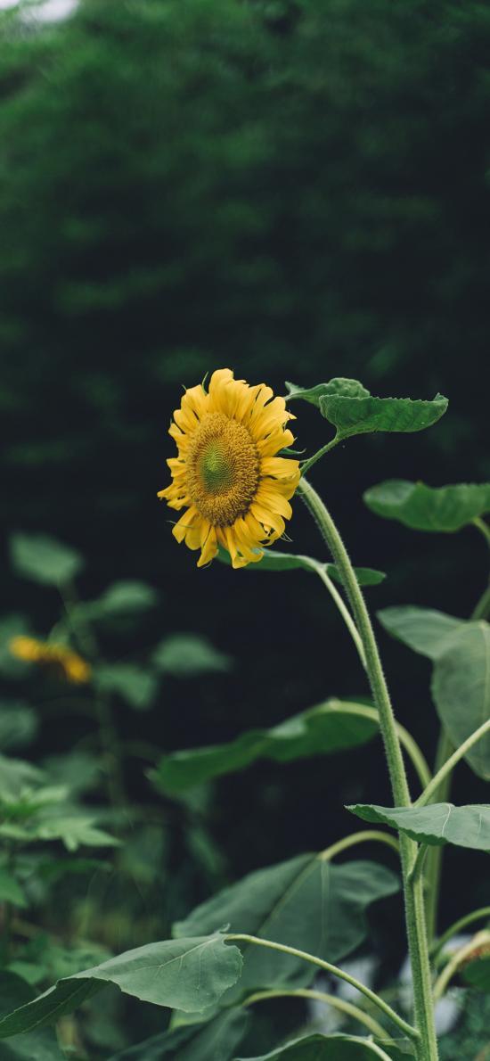 向日葵 葵花 鲜花 盛开