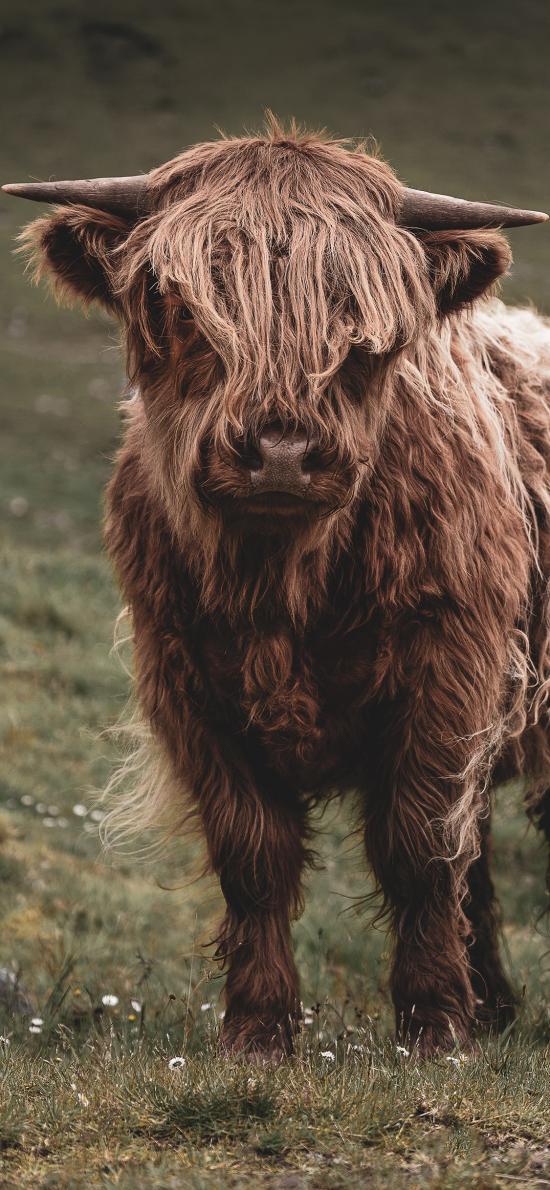郊外 草地 高地牛 长毛 牛角