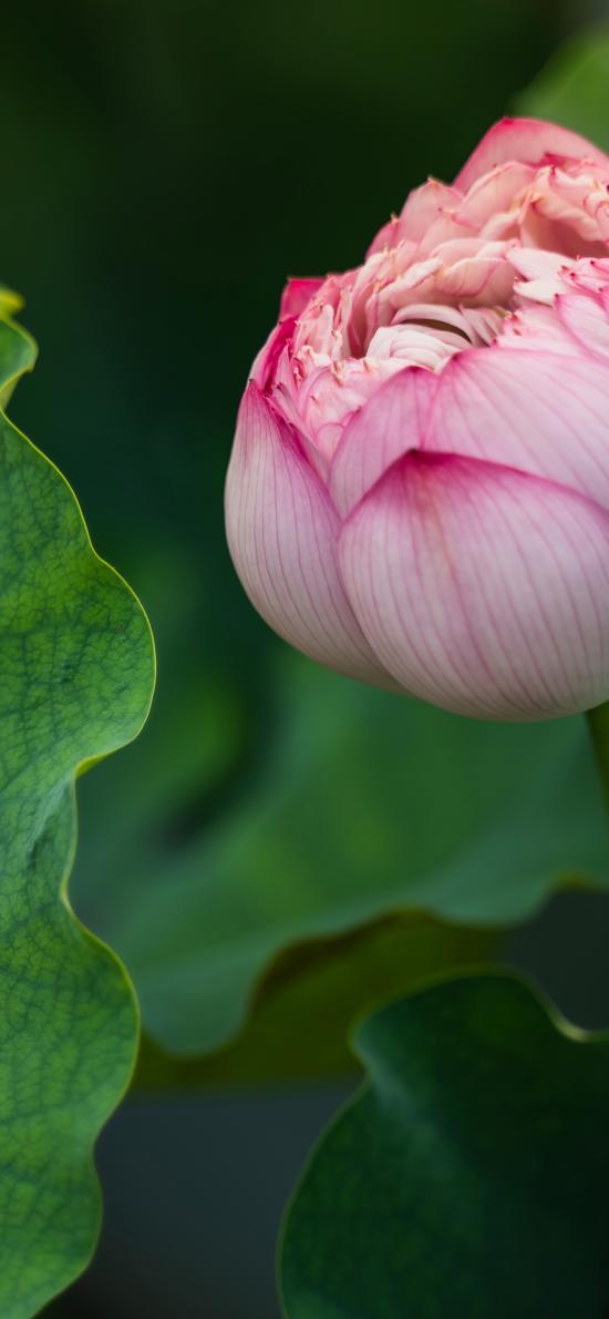荷花 花苞 荷叶 池塘 花季