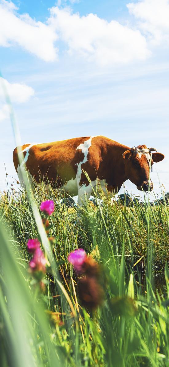 蓝天白云 草地 鲜花 牛
