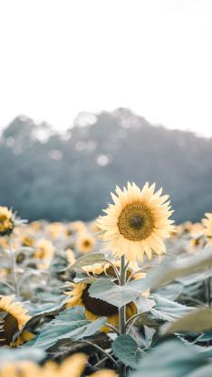 花田 花海 种植 葵花 向日葵