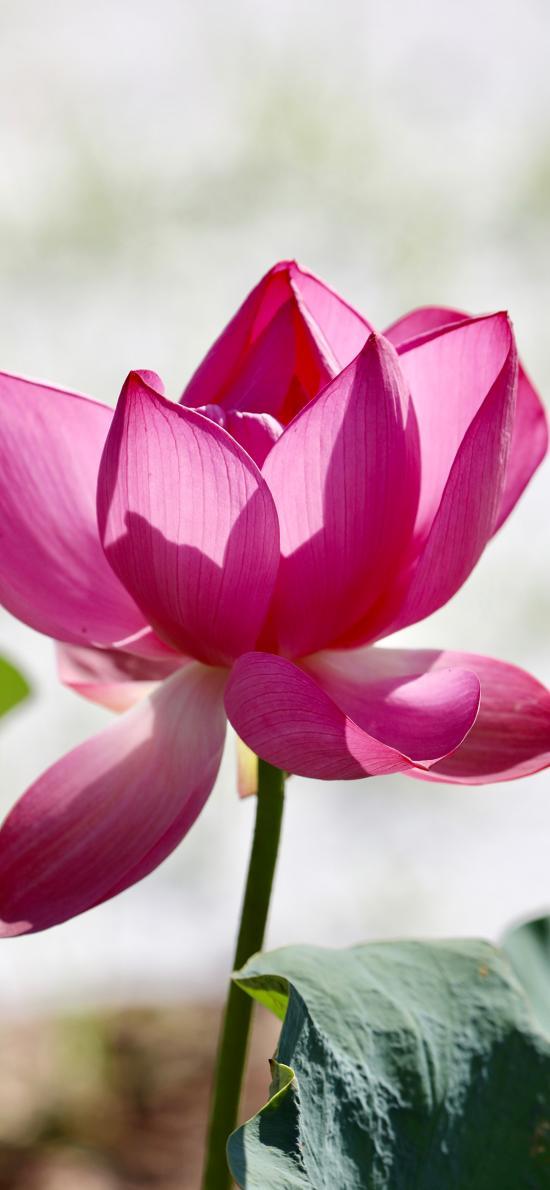 荷花 花朵 鲜花 盛开