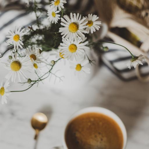 咖啡 雏菊 花季 盛开