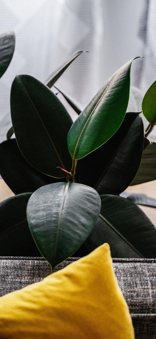 家居 盆栽 印度榕 绿叶