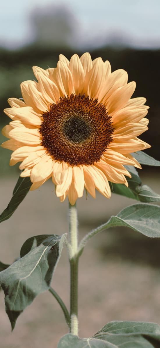 向日葵 鲜花 花盘