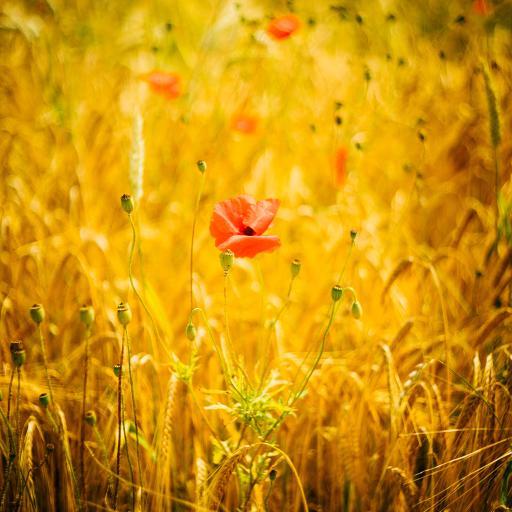 罂粟花 花朵 花苞 花季