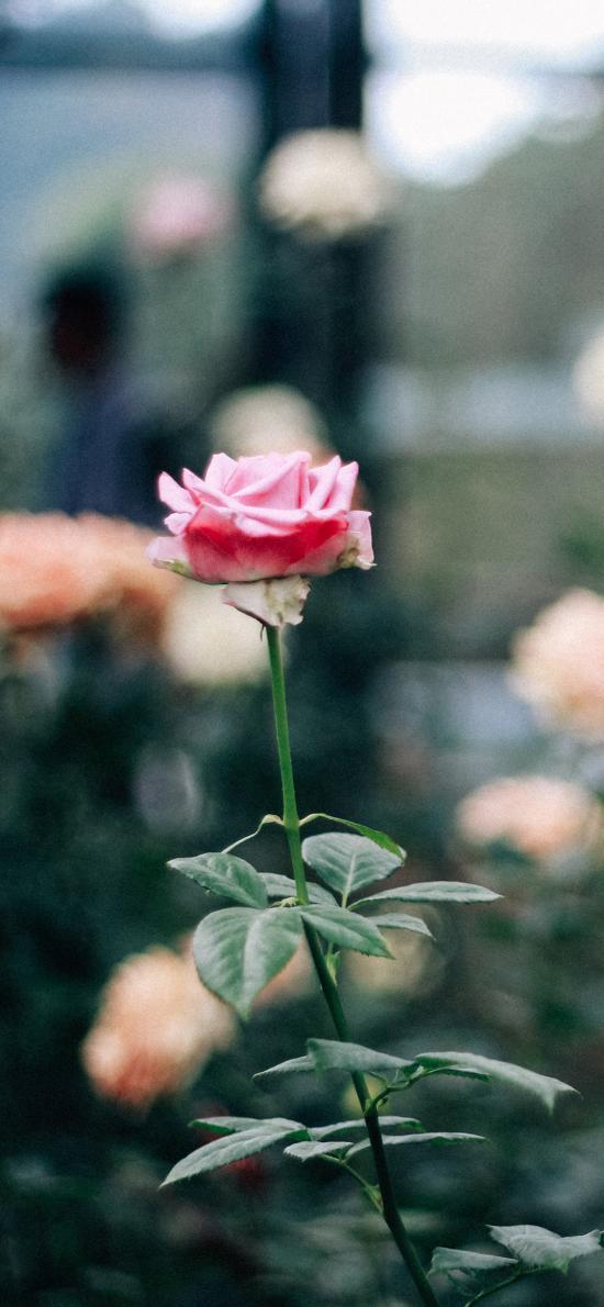 鲜花 玫瑰 粉色 黄色