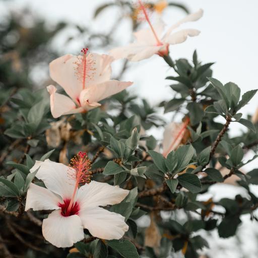 扶桑花 鲜花 盛开 花季