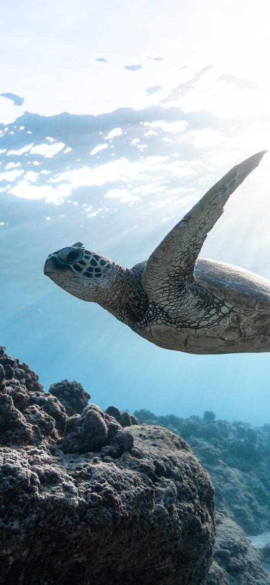 海龟 海洋 游动 大海