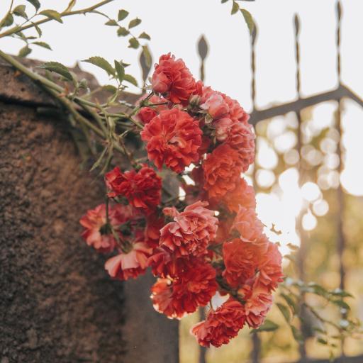 鲜花 康乃馨 盛开 墙头