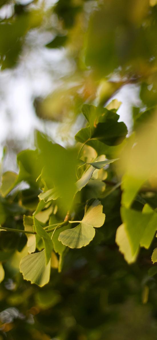 银杏树 树叶 绿叶 茂密