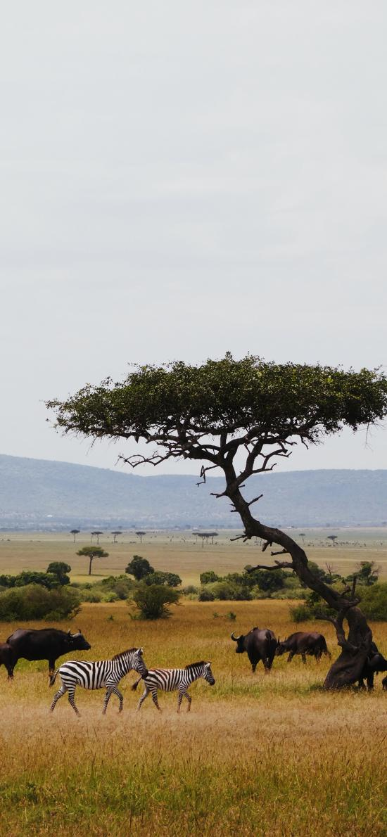 斑马 草原 自然保护区 牛群