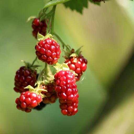 颗粒 鲜红 莓果 浆果