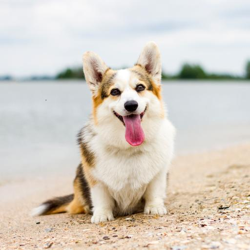 柯基 宠物 海边 小狗