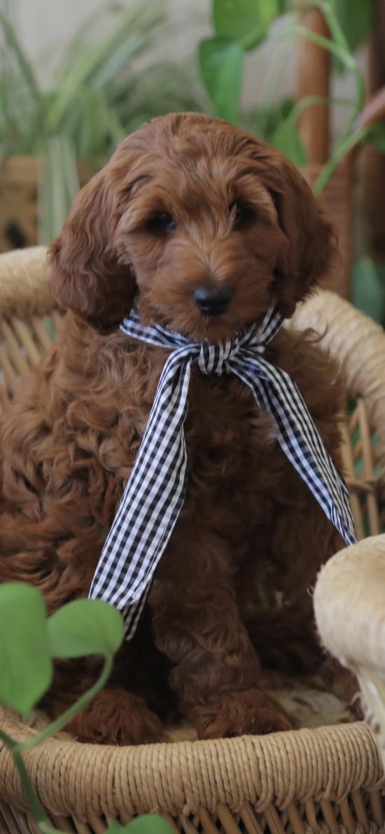 宠物狗 泰迪犬 可爱 汪星人 丝带