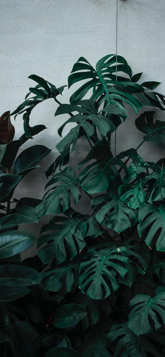 种植 龟背竹 绿植 观赏