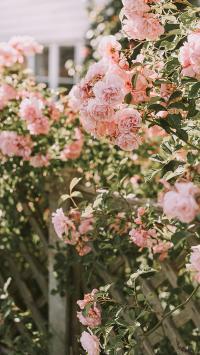 植株 蔷薇 鲜花 粉色