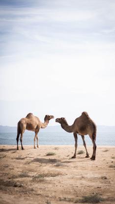 骆驼 荒漠 单峰 驼峰