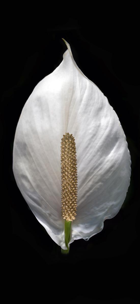 鲜花 马蹄莲 花朵 特写