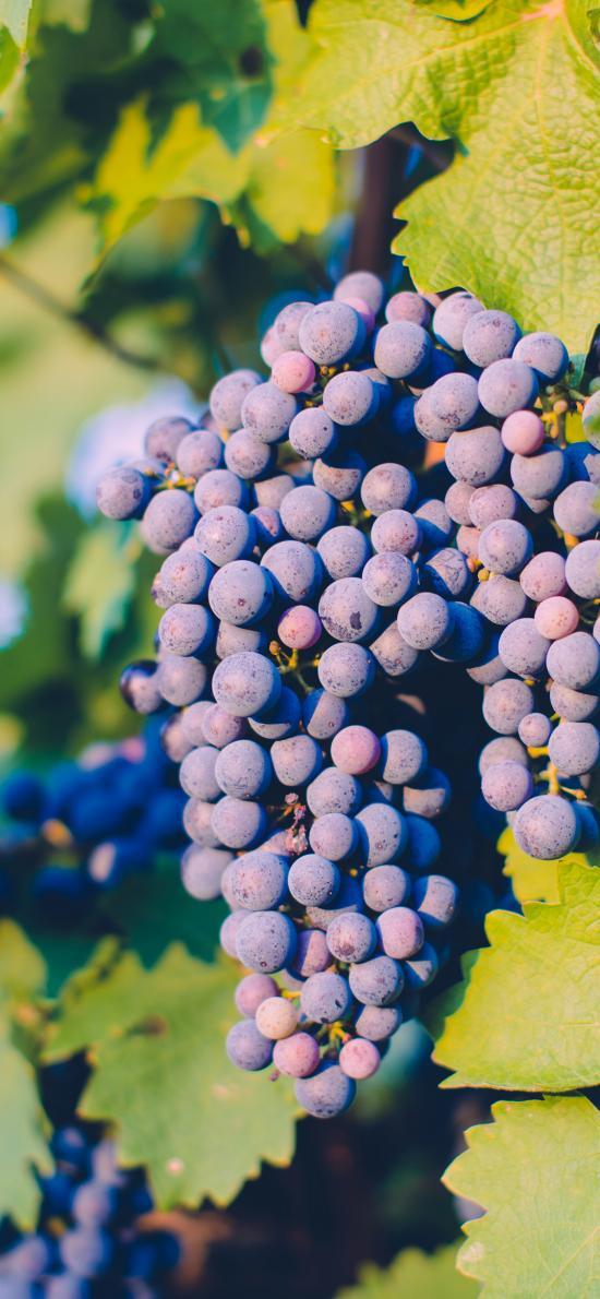 水果 新鲜 葡萄 枝叶
