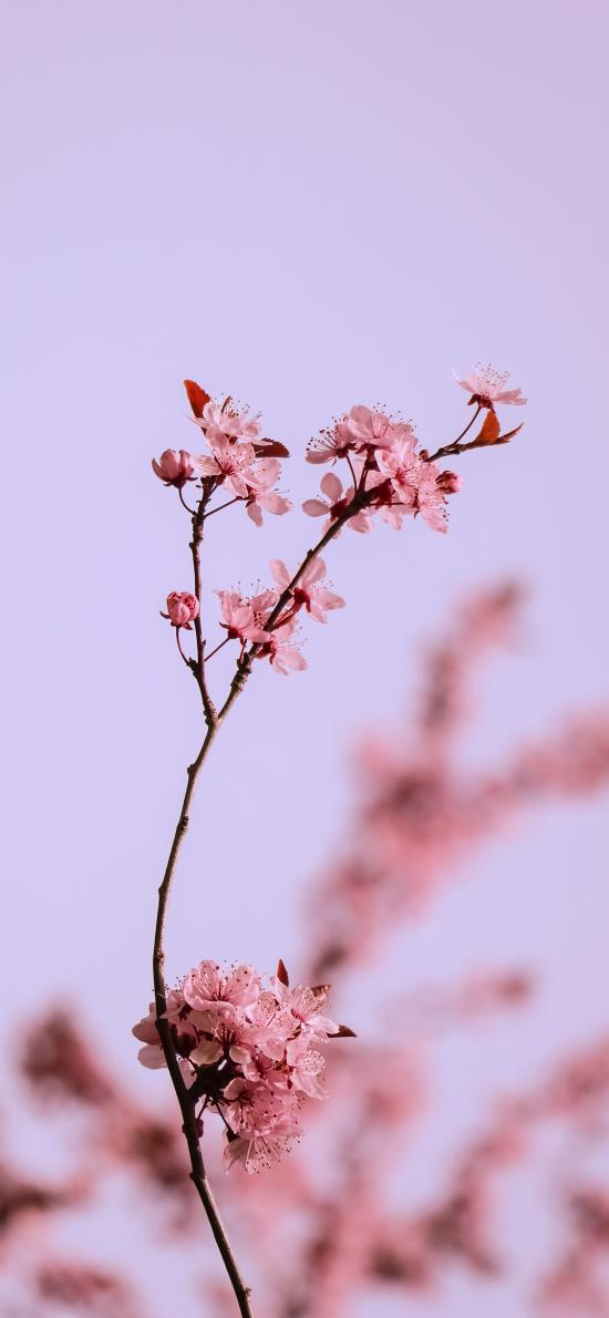 鲜花 一枝梅 梅花粉色