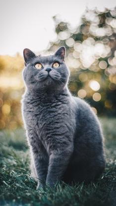 蓝猫 猫咪 宠物 草地