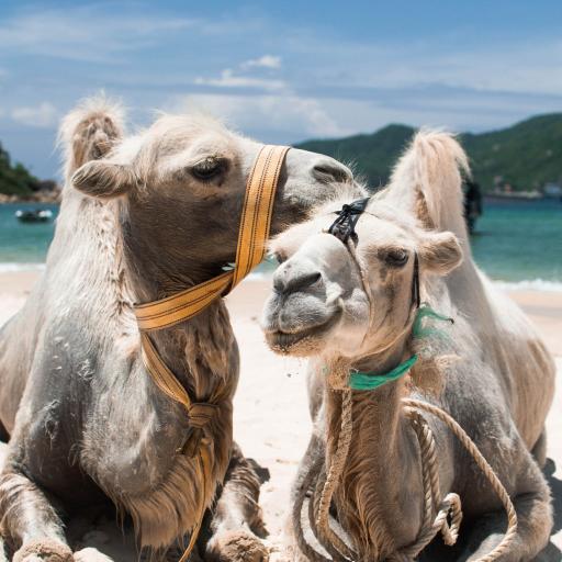 骆驼 牵引绳 驼峰 牲畜