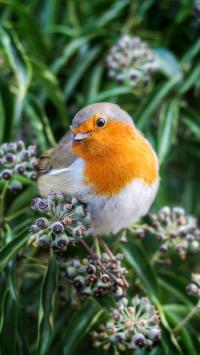 小鸟 知更鸟 鸟类 知更雀