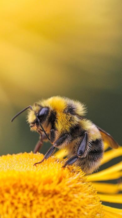 蜜蜂 采蜜 花粉 昆虫