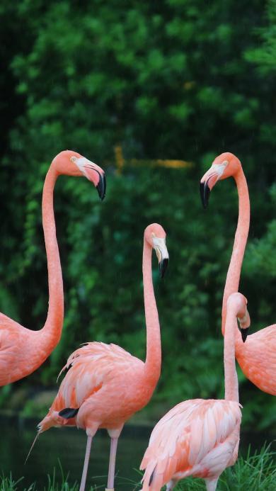 火烈鸟 鸟类 群居