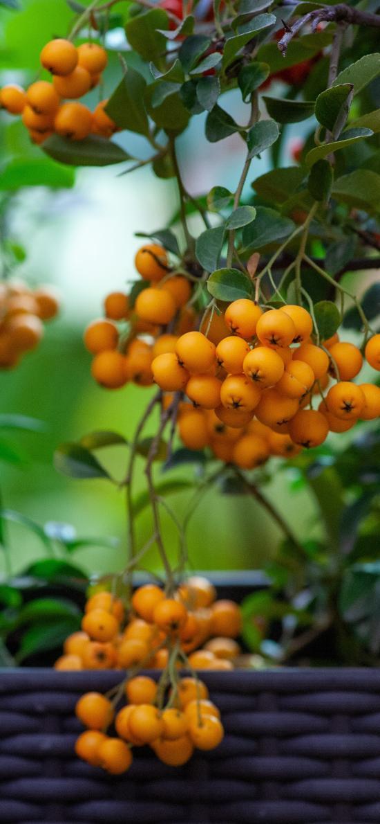 果实 山楂 挂果 密集