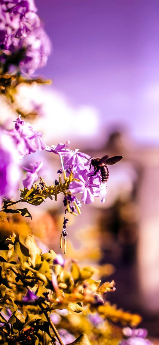 植株 鲜花 紫色 蜜蜂