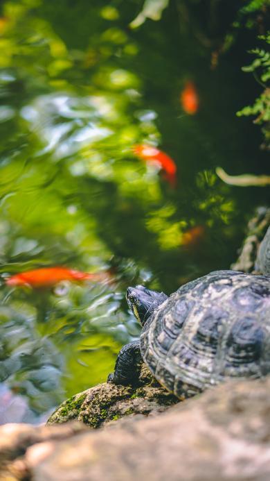 饲养 池塘 乌龟 爬行