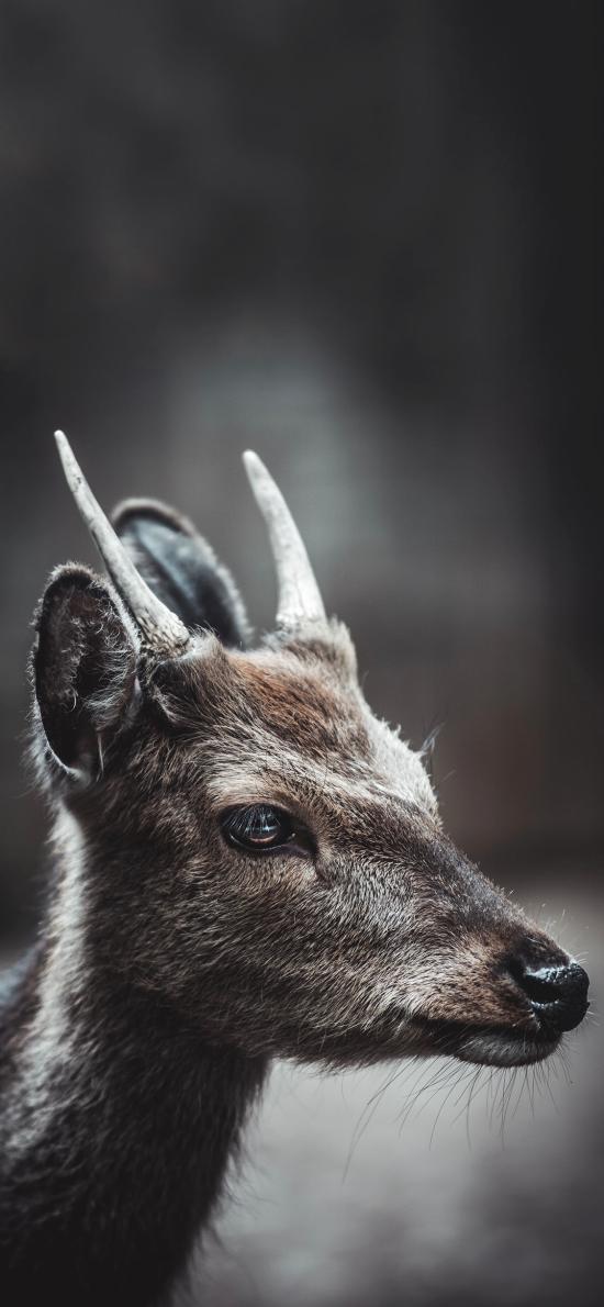 小鹿 鹿角 呆萌 大眼睛