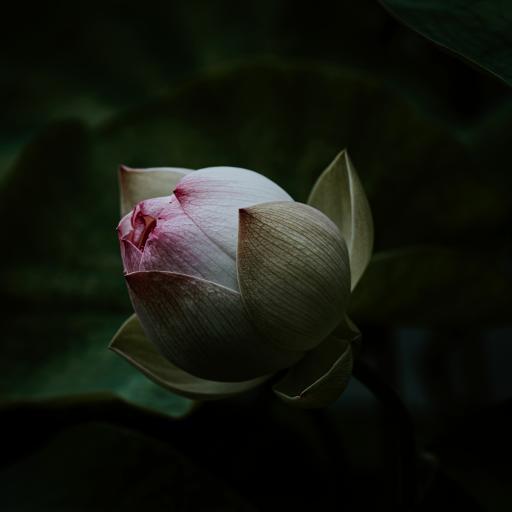 荷花 花朵 花苞  特写