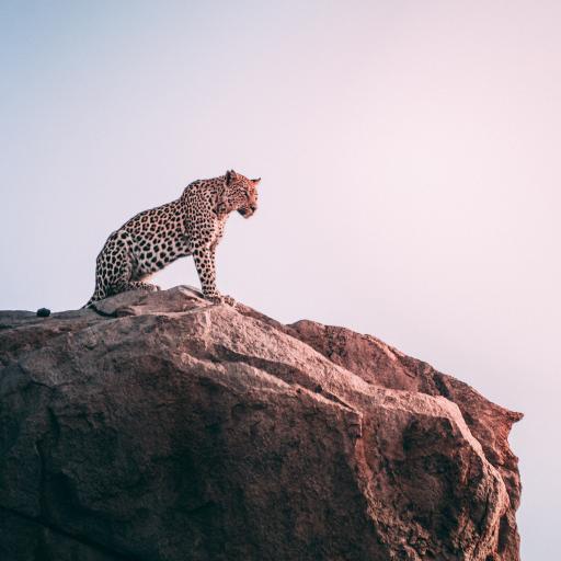 猎豹 岩石 豹子 猛兽