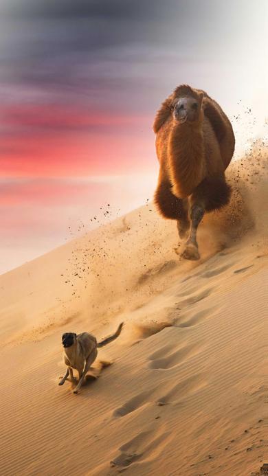 骆驼 狗 追逐 沙漠