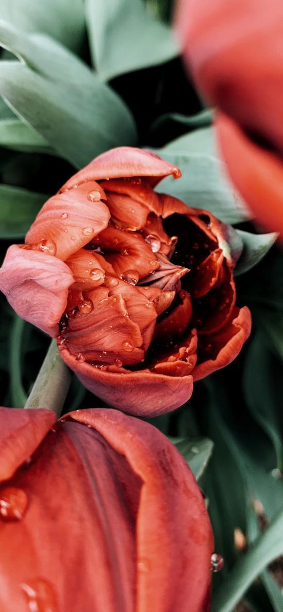 鲜花 花朵 盛开 郁金香