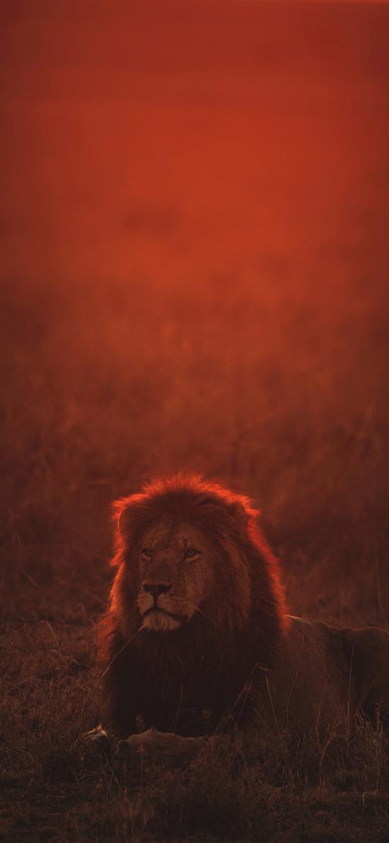 狮子 野外 夕阳 猛兽