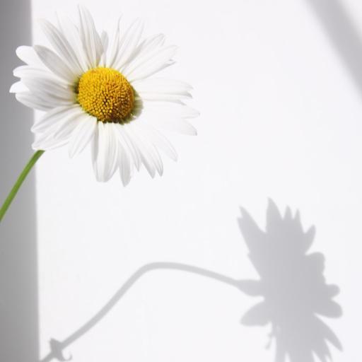 雏菊 鲜花 光影 鲜花