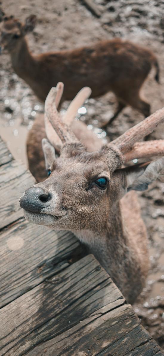 小鹿 鹿角 保护动物 呆萌