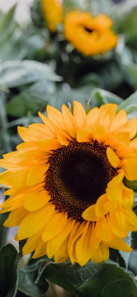 向日葵 葵花 鲜花 花盘