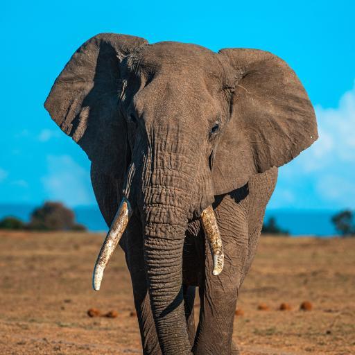 大象 香叶 野外 野象