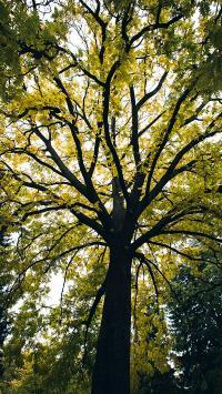 树木 树冠 枝叶 郁郁葱葱