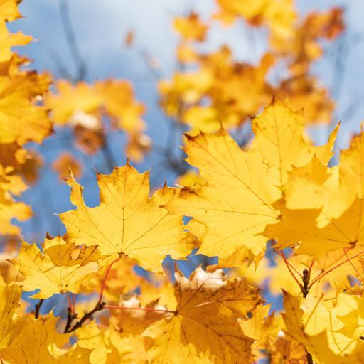 秋季 枯黄 枫叶 枝叶