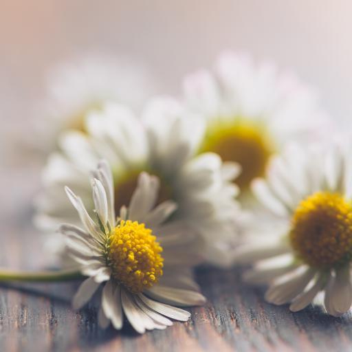 雏菊 鲜花 菊花 花朵