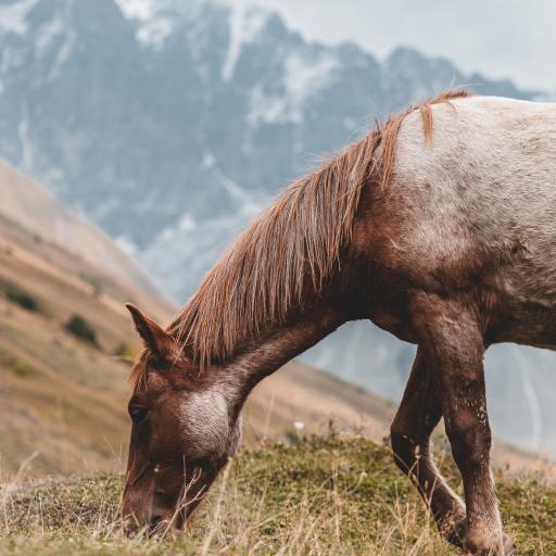 郊外 草地 棕马 觅食