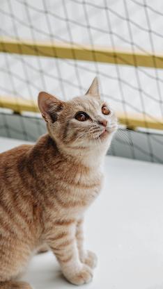 猫咪 宠物 橘猫 皮毛 渐层