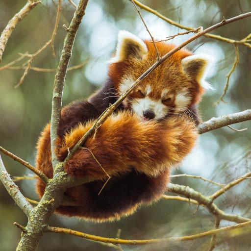 小熊猫 树枝 皮毛 休憩