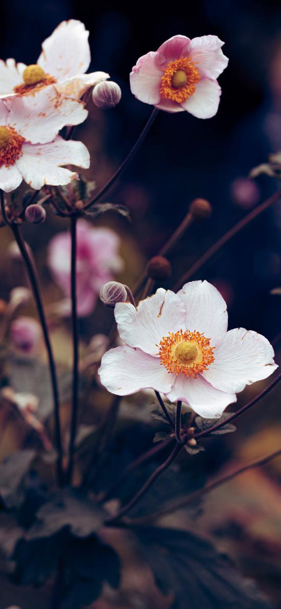 草本 野棉花 药材 花朵